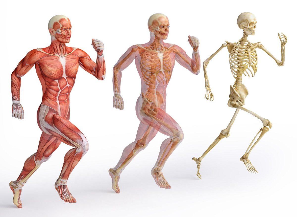 Anatomie in Vivo - Ars Manuum GmbH